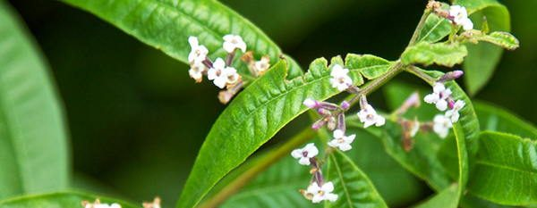 Lemon Verbena edible flower