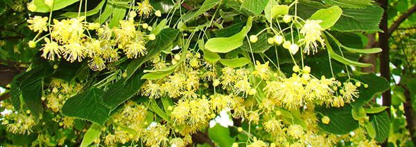 Linden edible flowers