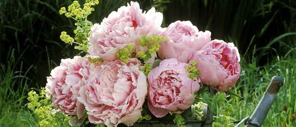 48. Peony tasty flower