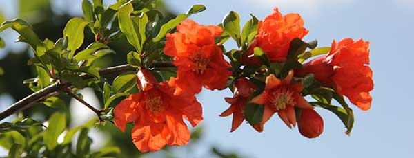 Pomegranate_flower tasty flower