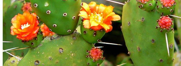 Prickly-Pear-Cactus edible blossoms