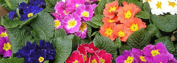 55. primrose edible blossoms