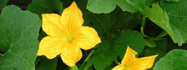 Pumpkin Blossoms edible blossoms