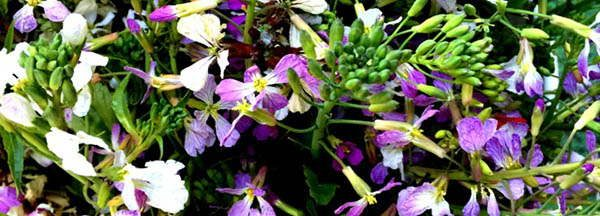 Radish Blossoms edible blossoms