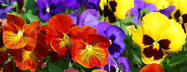 pansy tasty flowers