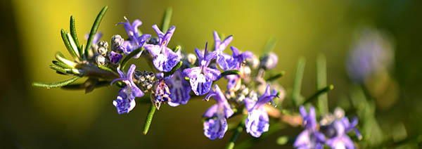Rosemary edible blossoms