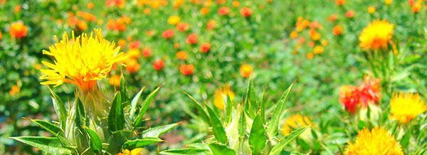 Safflower tasty blossoms