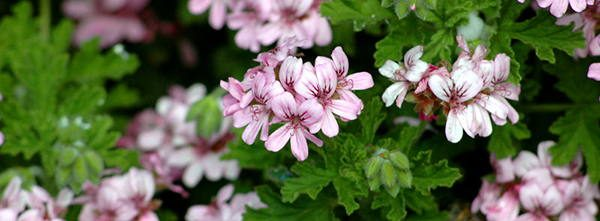scented-geranium tasty blossoms