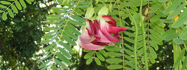 Sesbania_gradiflora edible flower