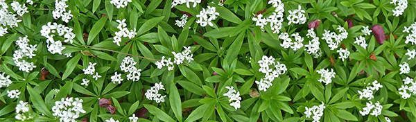 sweet-woodruff edible flowers