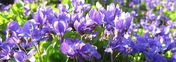 Violet (Viola Odorata) edible flowers