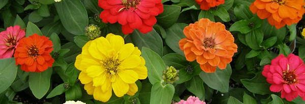 zinnia edible flowers