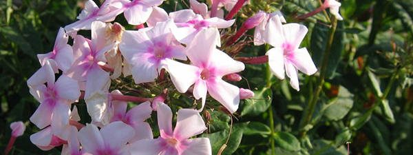 Phlox paniculata 79 Edible Flowers in North America