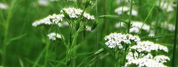 fieldOfYarrow