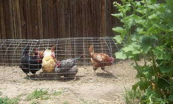 chicken tunnel chickens fence