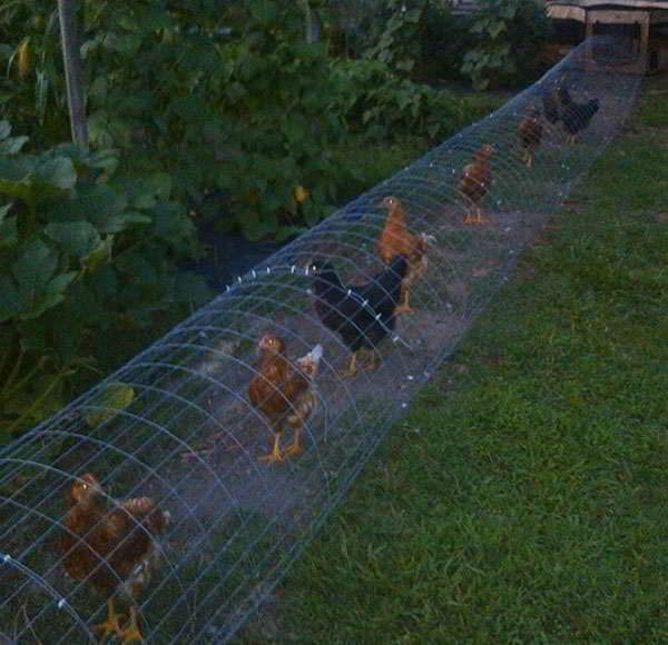 happy chickens tunnel