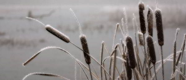 cattail-winter-edibles