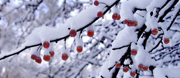crabapple-winter-edibles