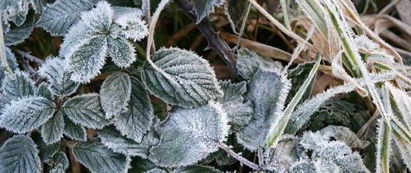 nettles-winter-edibles