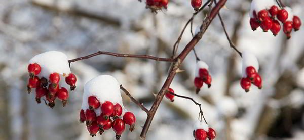 rose-hips-winter-edibles