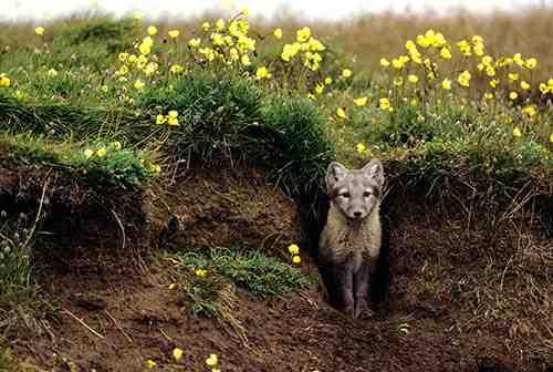 fox-den