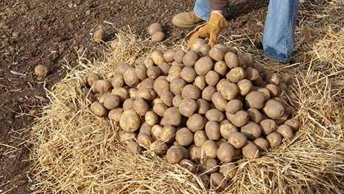 storageclamp potatoes