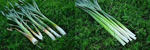 cattail shoots_stalks