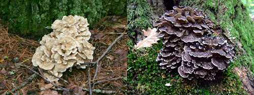 hen of the woods - oak mushroom