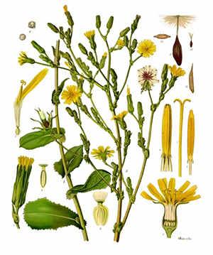 wild lettuce opium