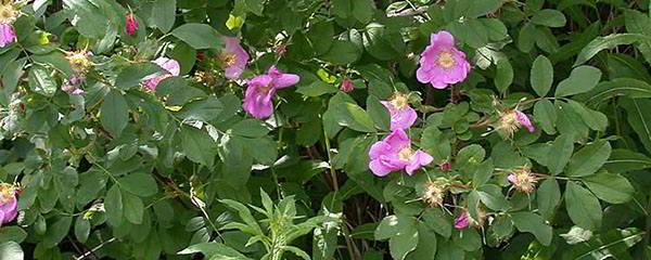 7. wild rose