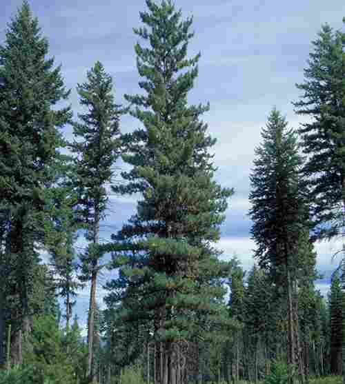 Pinus_monticola
