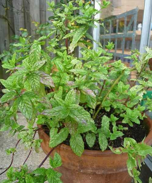 How To Make Peppermint Oil – the Natural Insect Repellent 1