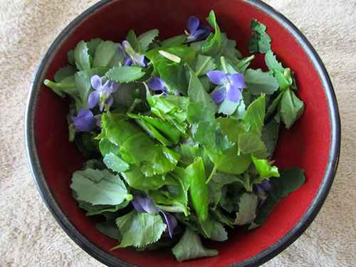 basswood leaves salad