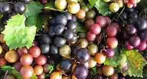 Muscadines Plants Cowboys Ate in the West