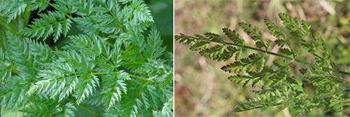 "How To Tell The Difference Between The Healing ""Queen Anne's Lace"" And Deadly ""Hemlock"""