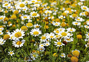9 Natural Remedies To Heal Wounds Faster - Chamomile