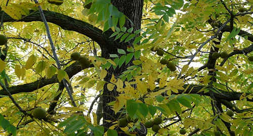 12 Wild Medicinal Plants You Must Harvest This Fall black walnut