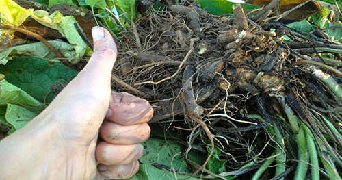 This Fall comfrey roots