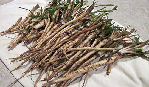 12 Wild Medicinal Plants You Must Harvest This Fall dandelion roots