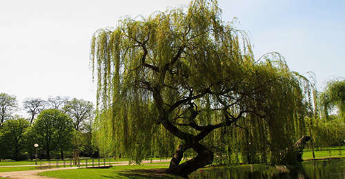 12 Wild Medicinal Plants You Must Harvest This Fall weeping willow