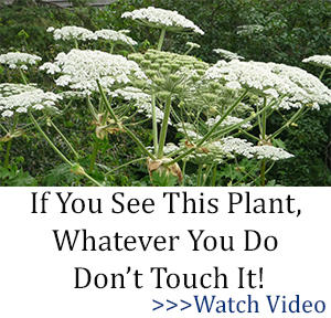 BOR don't touch it hogweed