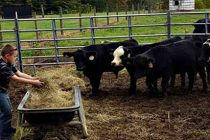 How To Raise Mini Cows For Prepping And SHTF