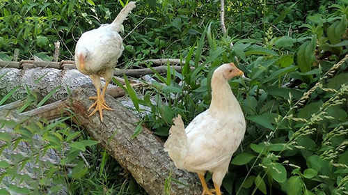 The Prepper's Guide For Raising Chicken