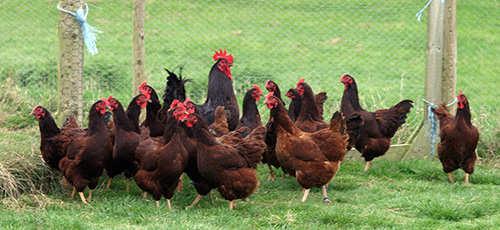 The Best Fowls to Raise for SHTF Quail, Guineafowl, Chicken, Turkey, Emu