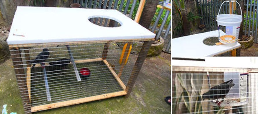 An Ingenious Way to Catch Pigeons and Other Birds in Your Own Backyard