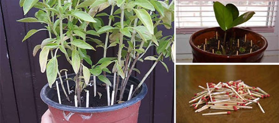 Why You Should Place Matches In Your Plant Pots