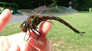 10 Bugs You Should Never Kill In Your Garden Dragonfly