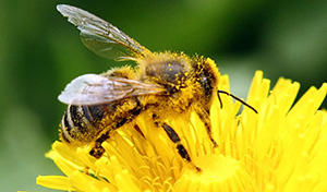 10 Bugs You Should Never Kill In Your Garden bee