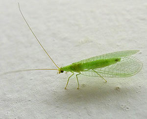 10 Bugs You Should Never Kill In Your Garden lacewing