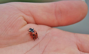 10 Bugs You Should Never Kill In Your Garden ladybug